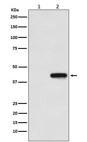 His-Tag Mouse Monoclonal Antibody