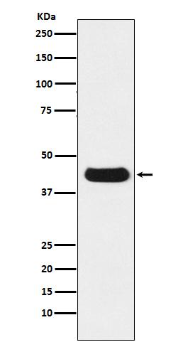 V5-Tag Mouse Monoclonal Antibody