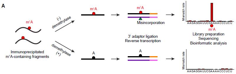 m1A RNA甲基化测序