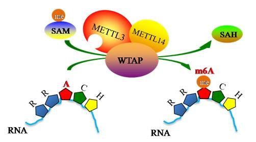 m6A RNA甲基化
