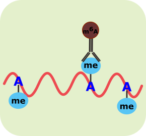 RNA甲基化免疫共沉淀技术(MeRIP)