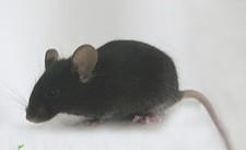 【APP/PS1双转基因小鼠阿尔兹海默老年痴呆AD小鼠销售 SPF级合格证书】