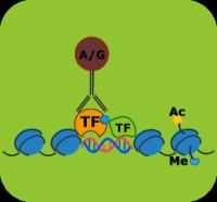 染色质免疫沉淀技术(ChIP)