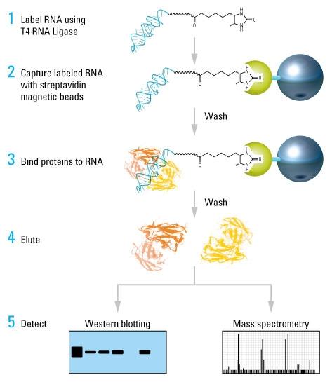 RNA PULL DOWN 探针制备服务