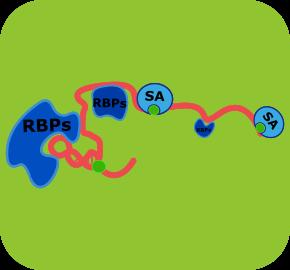 RNA pulldown