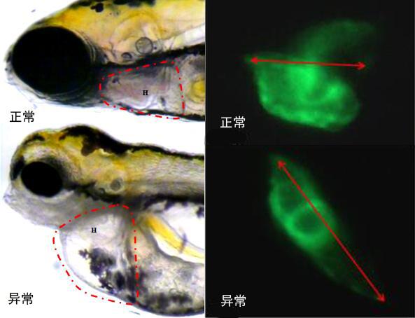 模型升级|斑马鱼药物心血管毒性评价服务晋级成功
