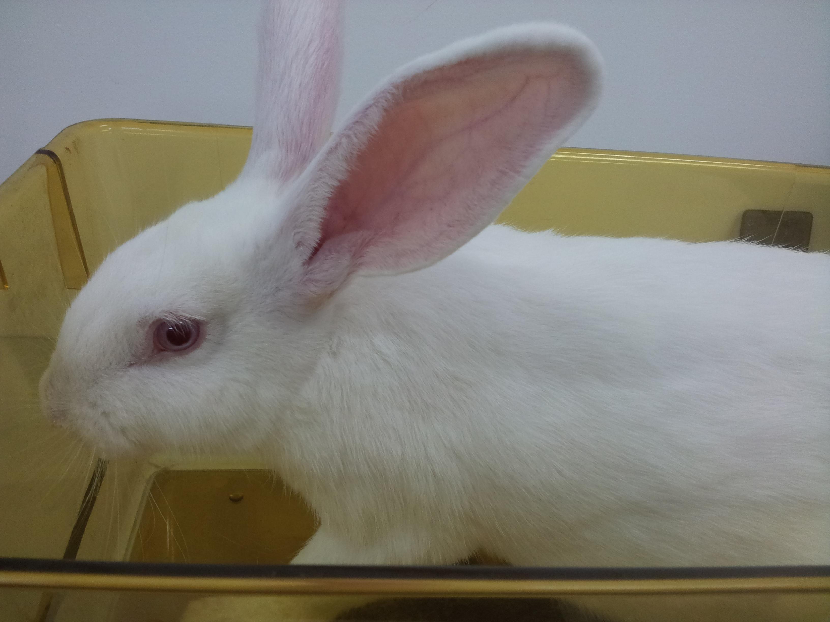 兔腹主动脉粥样硬化(球囊法)模型及药效实验