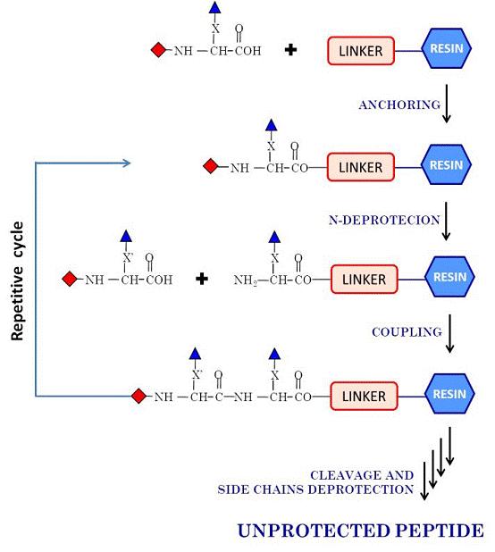 多肽合成、修饰与偶联