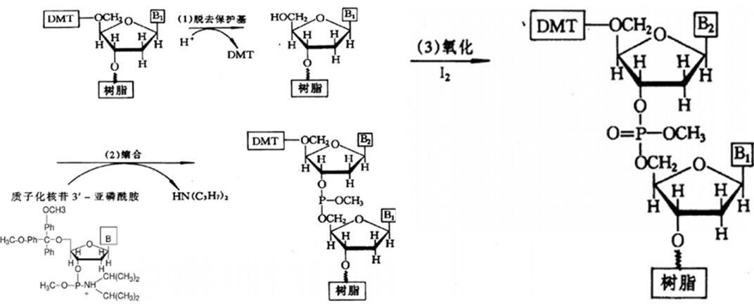 RNA/LncRNA/siRNA合成与纯化