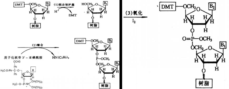 DNA/基因合成与纯化