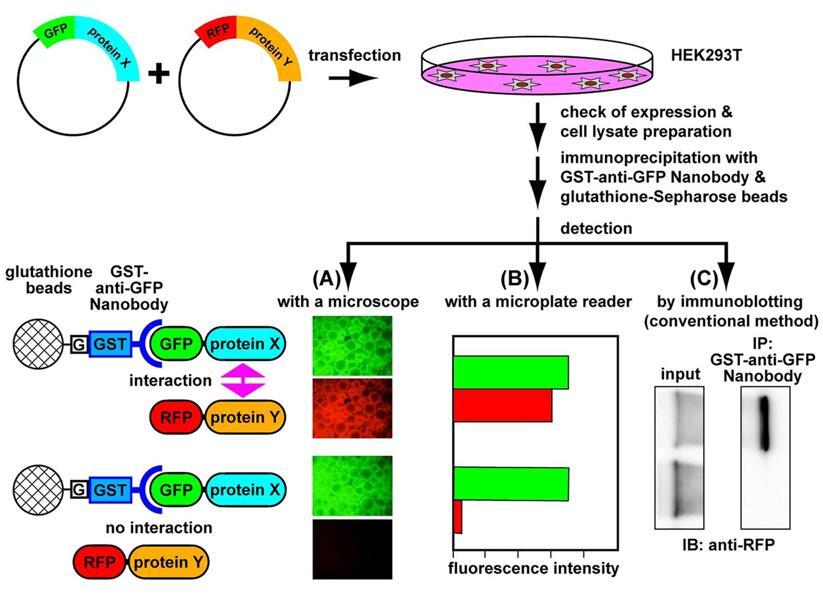 细胞转染荧光蛋白实验