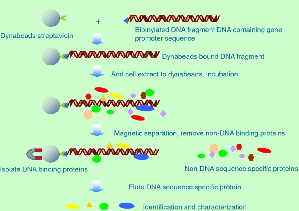 DNA pull down实验