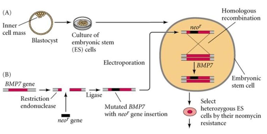 新一代胚胎打靶技术