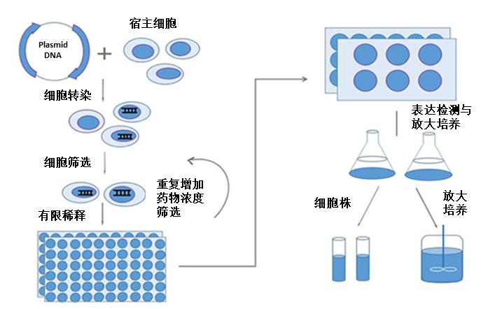 细胞细胞株构建