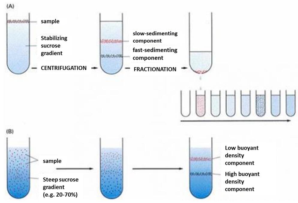 原代细胞分离