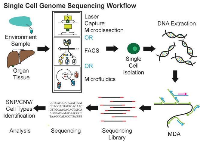 单细胞基因组测序