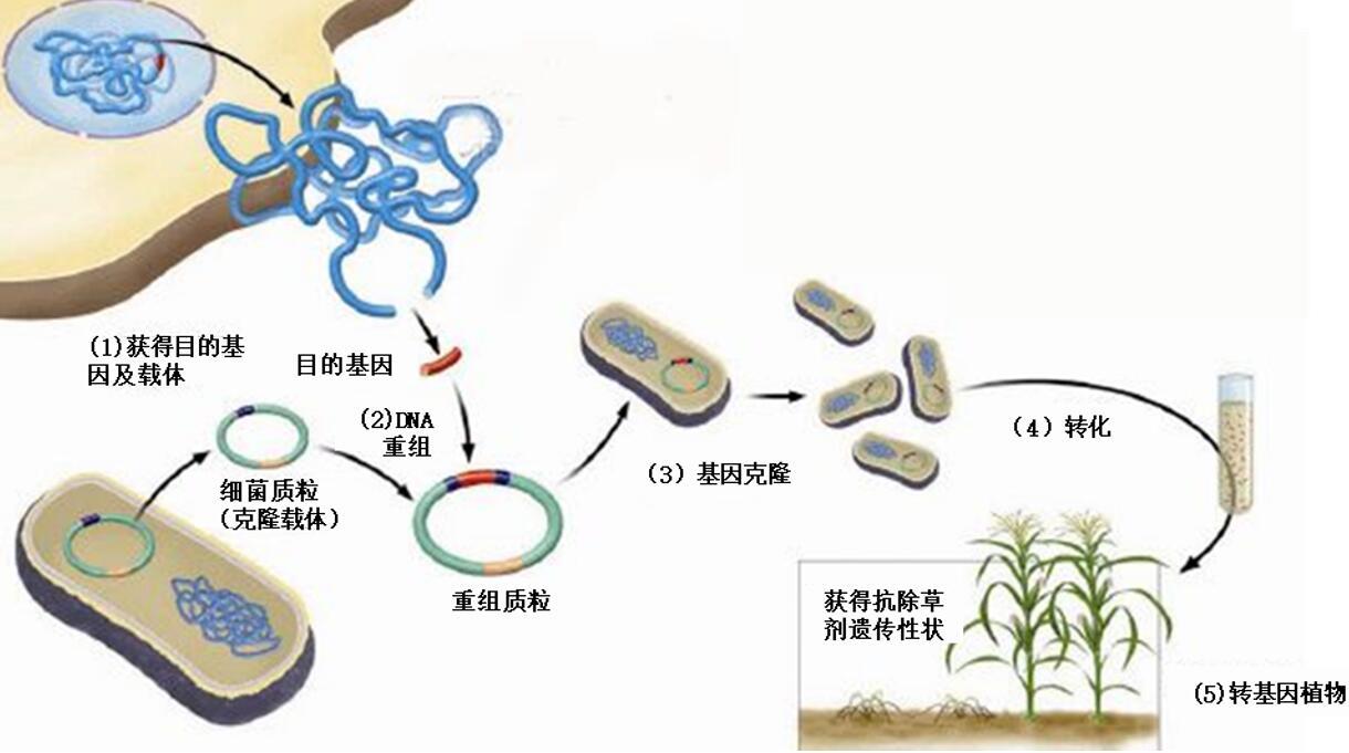 转基因植物