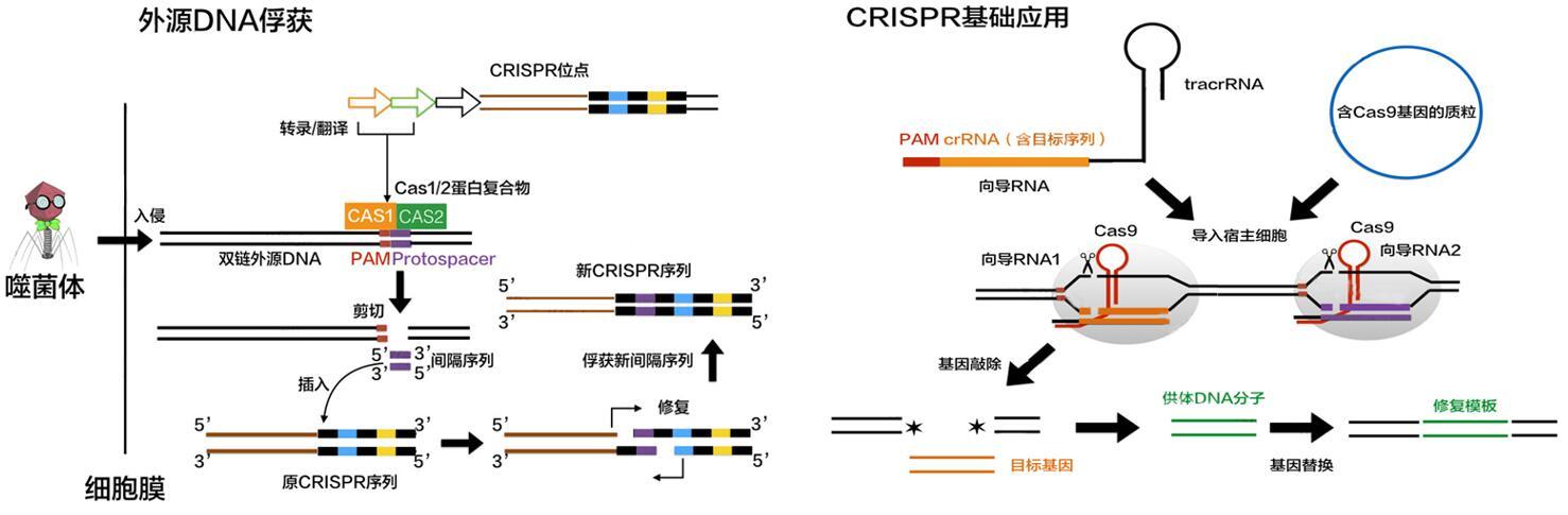 CRISPER-CAS技术