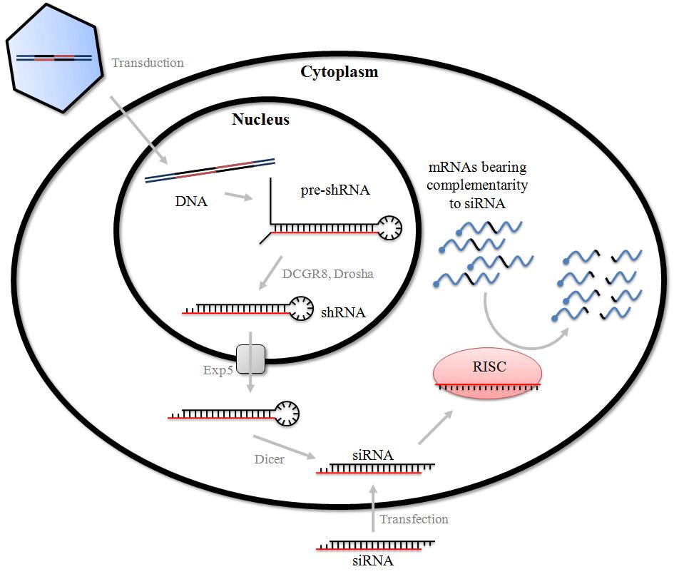 siRNA/shRNA载体构建