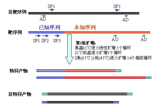 基因步移(genomic walking)实验