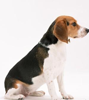 实验用纯种比格犬销售价格优惠,保质保量