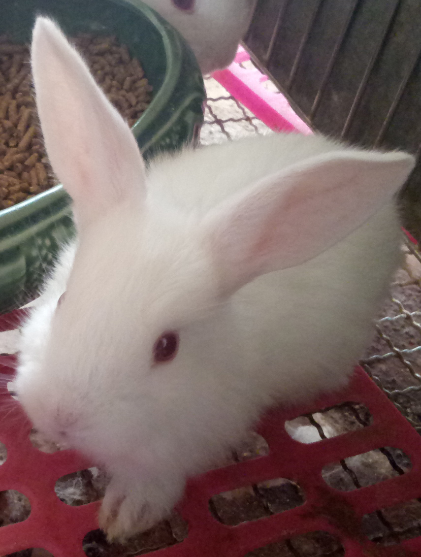 兔颈动脉粥样硬化药效实验(球囊拉伤法)