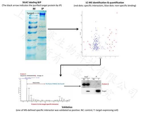 SILAC+IP-MS:定量蛋白质互作服务(金标版)