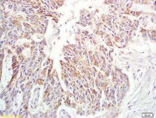 乙酰胆碱酯酶免疫荧光抗体