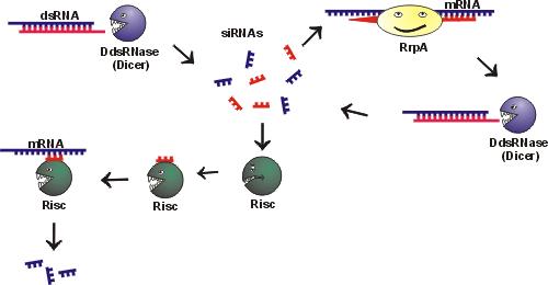 基因抑制质粒套餐(3靶点/基因+测序报告)
