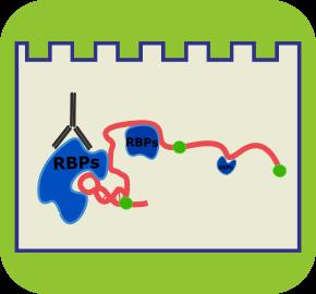 凝胶阻滞或电泳迁移率实验(RNA-EMSA)