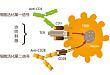 T 细胞活化机理
