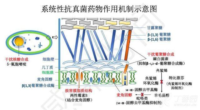 真菌药物学习笔记的副本(1)_页面_10.jpg