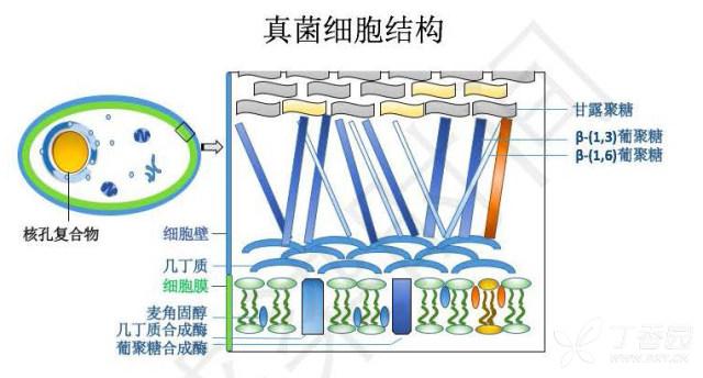 真菌药物学习笔记的副本(1)_页面_07.jpg