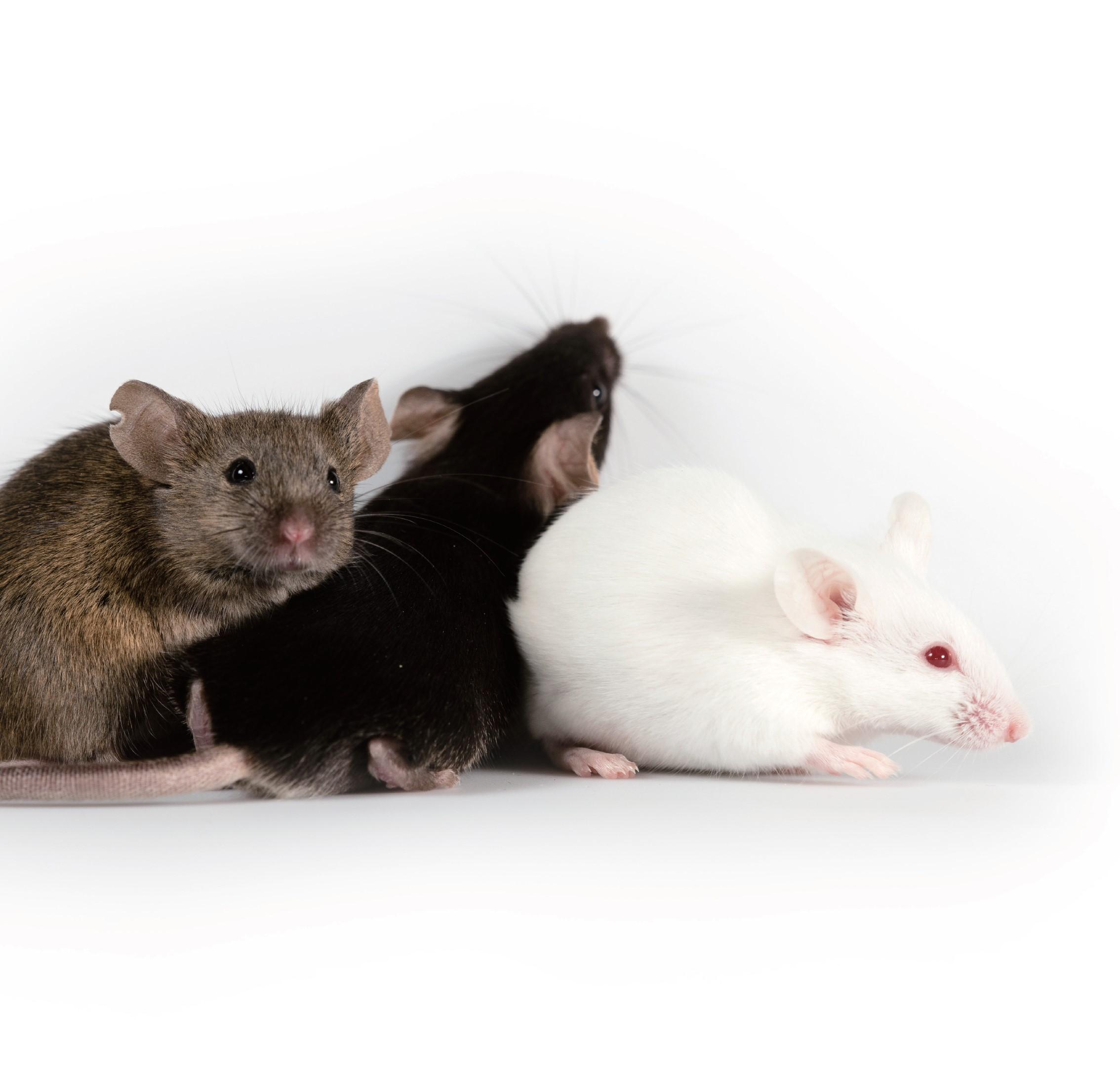 常规基因敲除小鼠模型