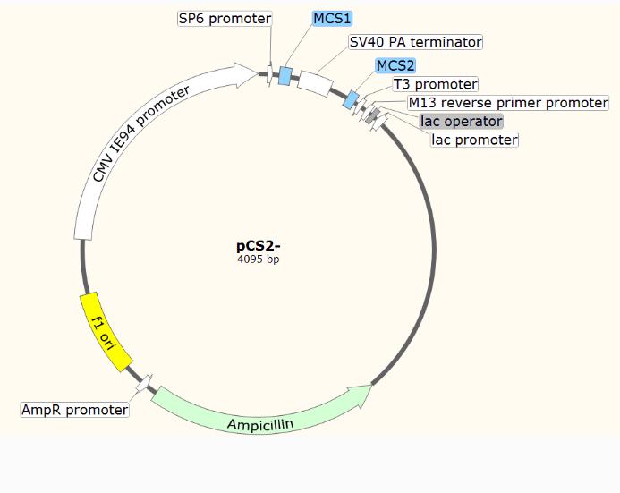pZsGreen1-C1(pZsGreen1C1)质粒载体