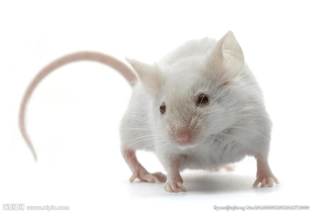 乙型肝炎动物模型