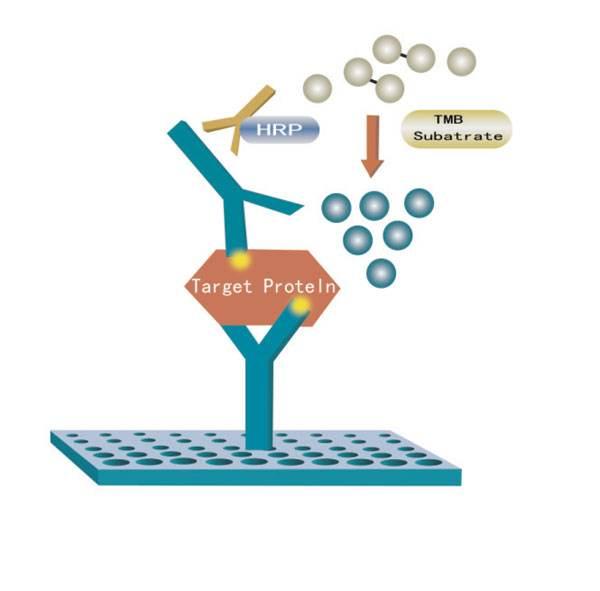 酶联免疫吸附测定(ELISA)检测