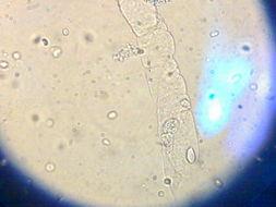 大鼠正常食管上皮细胞;RNEEC/HL-012品牌