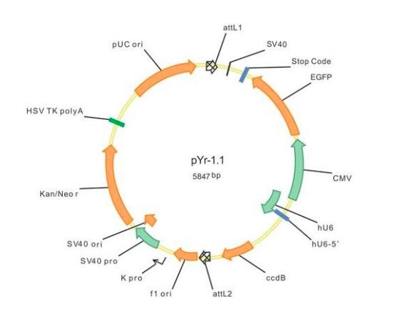 shRNA载体构建及筛选