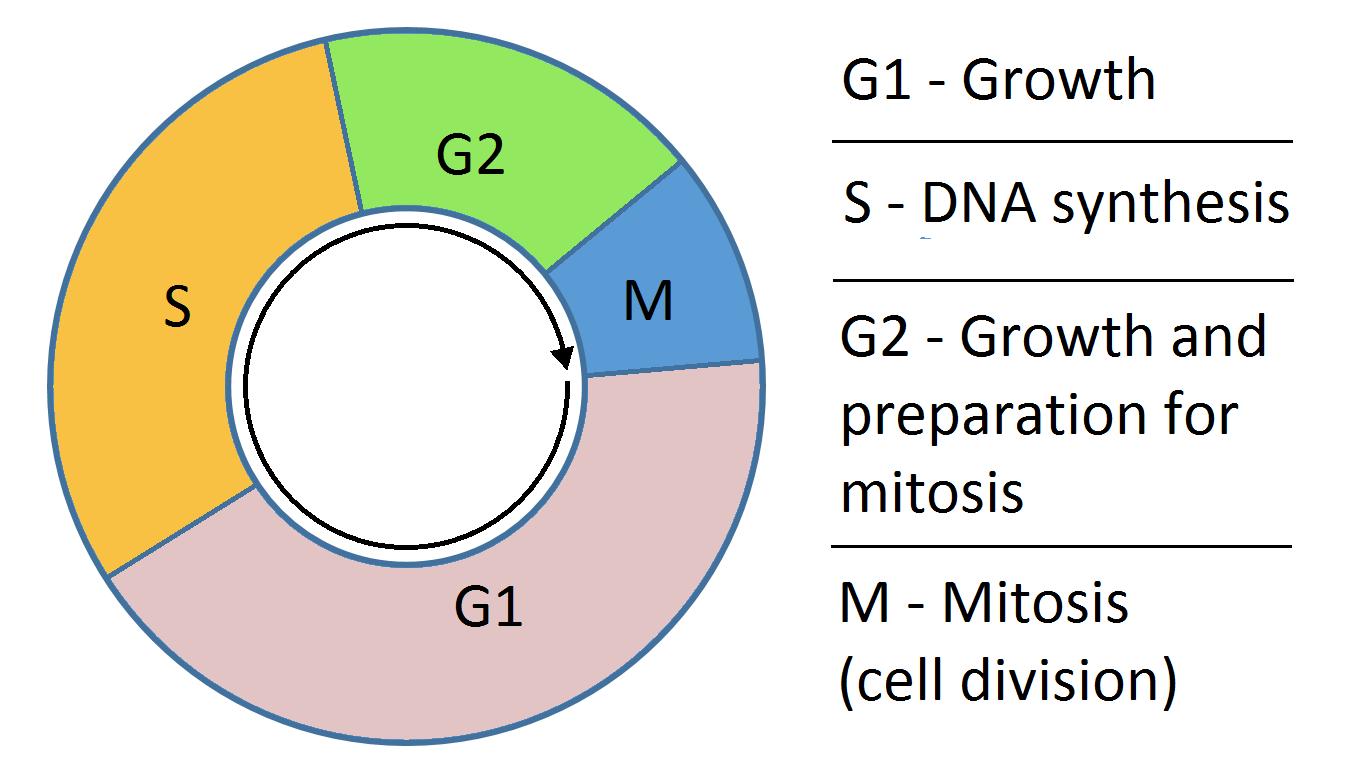 流式检测细胞周期和细胞亡
