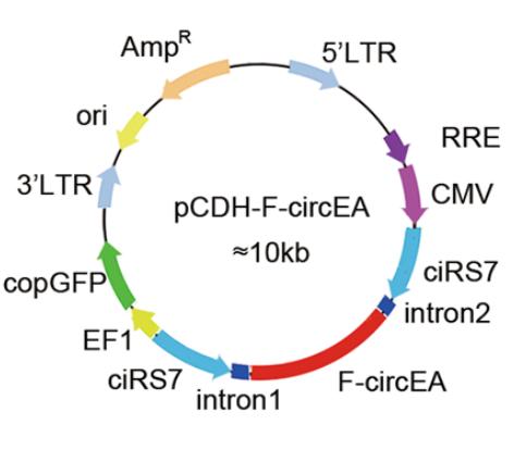 circRNA测序