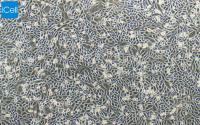 CHO-K1中国仓鼠卵巢细胞k1 亚克隆系/赛百慷(iCell)