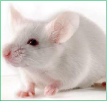 小鼠单克隆抗体定制服务