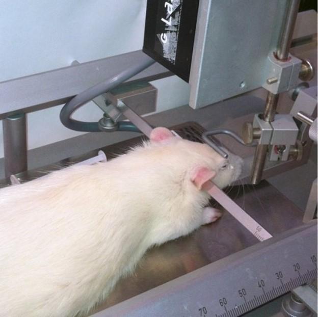 缺血性脑卒中动物模型