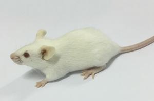 类风湿性关节炎动物模型(RA)