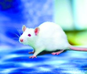 小鼠活体成像