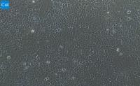 A431  人表皮癌细胞