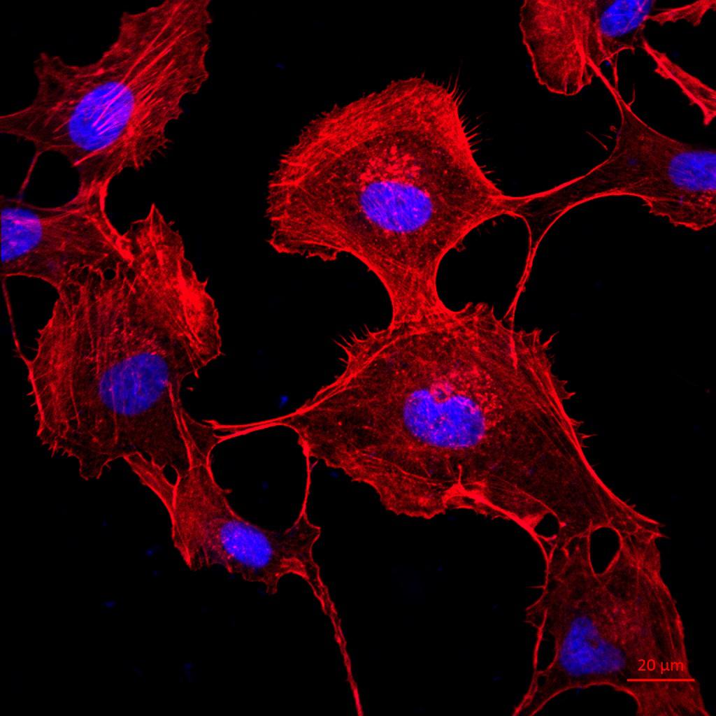免疫荧光/免疫组化