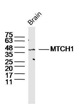 MTCH1 antibody