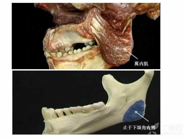 精美3d人体解剖图_颈部解剖图谱_颈部解剖图谱画法